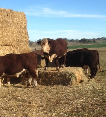 poll-hereford-bulls-fill-photo-web